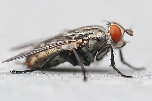 Dirty Flies